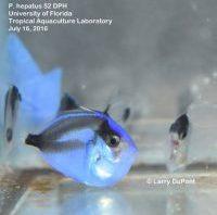 LRS P. hepatus 2 - reefs
