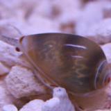 Marginella_plumiosum - reefs