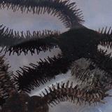 Ophiocoma_paucigranulata - reefs