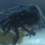 Oregonia_sp_black - reefs