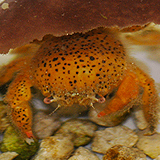 Oregonia_sp_orange_spotted - reefs