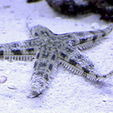 Sandsiftingstarfish - reefs