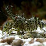 Saron_sp - reefs