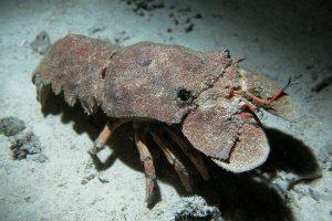 Scyllarides_latus - reefs