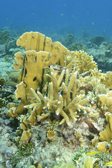 new healthy staghorn corals reefs com