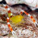 Stenopus_zanzibaricus - reefs