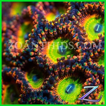 Zoanthids Com Shazam Palys Reefs Com