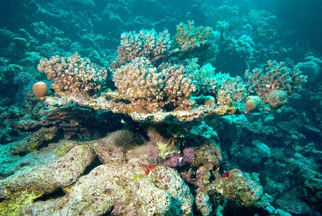 acropora 2 aspinall - reefs