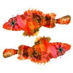 A Beautiful New Dwarf Scorpionfish from Caribbean Mesophotic Reefs