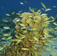 bluehead wrasse juvenile - reefs