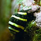 bumblebeesnail - reefs