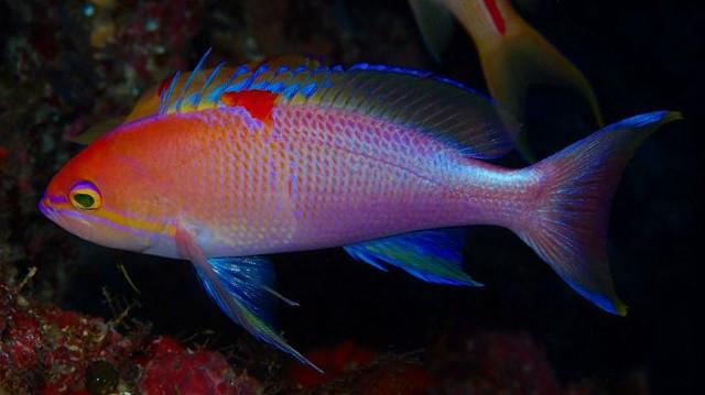 Pseudanthias cf charleneae, from Okinawa, Japan. Credit: Kyo
