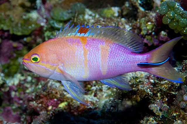 Pseudanthias cf engelhardi, the Micronesian Double Bar Anthias. Credit: diver hiro