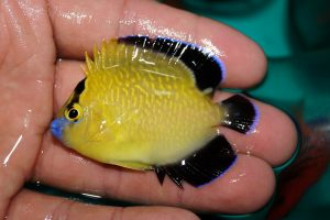 A more typical Goldflake of this size, with a more saturated yellow hue, black caudal fin and blue lips and fin margins. Credit: Pet Balloon