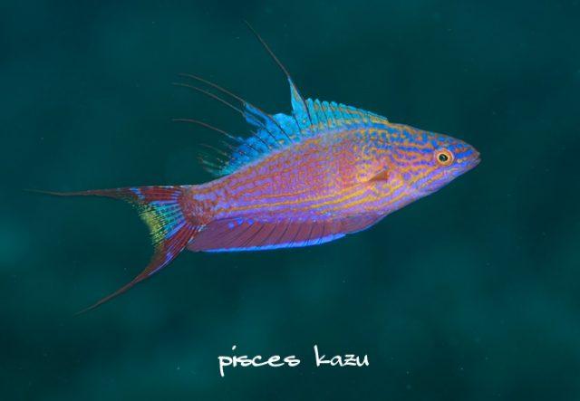 P. bellae from Palau. Credit: kazu
