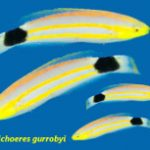 A Beautiful New Wrasse From Mauritius, Halichoeres gurrobyi