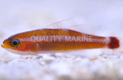 Holleman's Pygmygoby (T. hollemani) is the most abundant species in the aquarium trade. Credit: Quality Marine