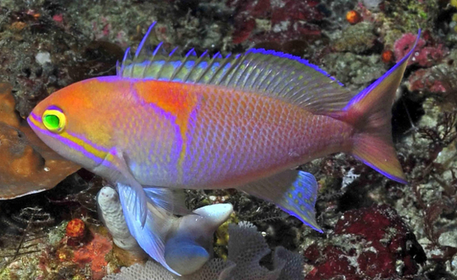 P. lunulatus, from Sodwana Bay, South Africa. Note the color of the pelvic and anal fins. Credit: Peter Timm