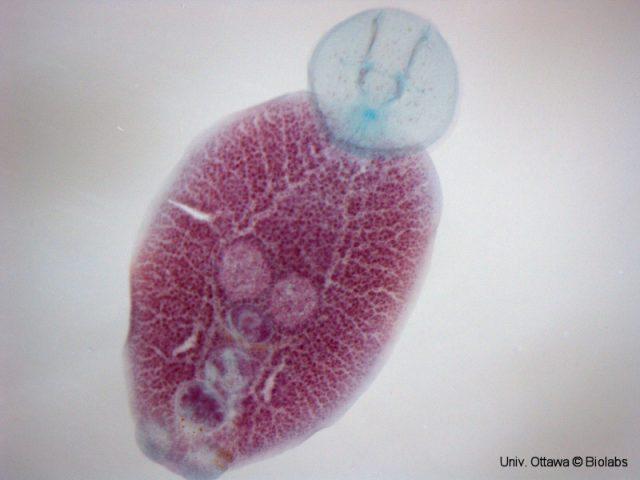 Neobenedenia skin fluke. Credit: University of Ottawa Biolabs