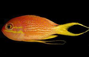 The only other Atlantic species, Odontanthias hensleyi. Credit: Anderson & García-Moliner 2012