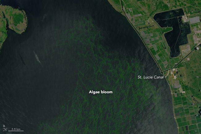 okeechobee algae - reefs