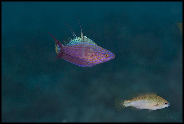 """""""Flashing"""" P. bellae from 23 meters in Palau. Credit: kenyu"""
