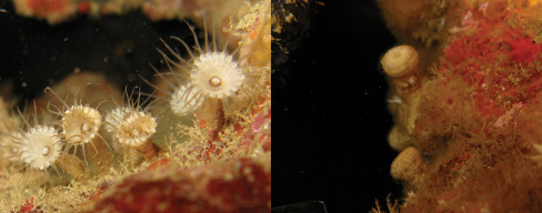 Palythoa mizigama (left) & P. umbrosa (right, closed). Credit: modified from Irei et al 2015