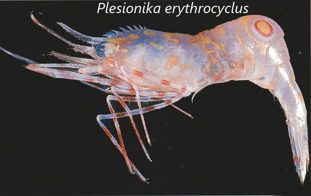 Plesionika erythrocyclus Modified from Chan 2004