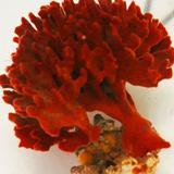 red ridge sponge - reefs
