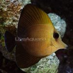 Newly Arrived Aberrant Scopas Tangs