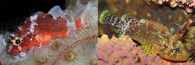 S. tredecimspinosus & S. caribbaeus. Credit: Ellen Muller & Brian Mayes / Baldwin et al 2016