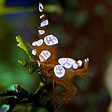 sexyanemoneshrimp - reefs