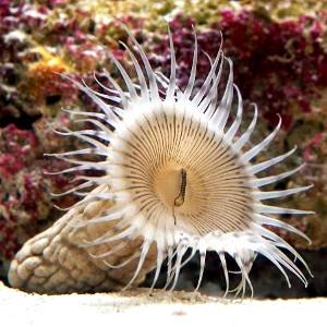 Sphenopus marsupialis. Credit: Churaumi Okinawa Aquarium