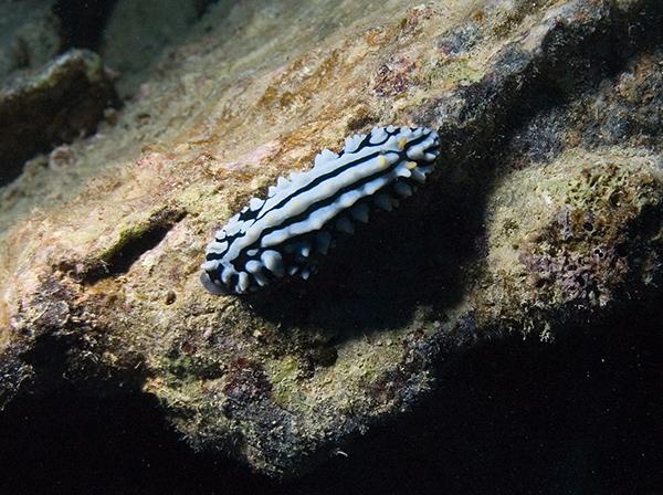 varicose wart slug