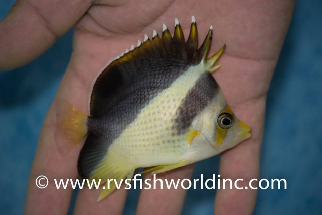 Hybrid C. flavocoronatus X C. burgessi from Cagayan, Philippines. Credit: Barnett Shutman / RVS Fishworld
