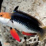 Monsoon Fairy Wrasse hits the U.S. Market