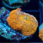 Featured Coral – OG Tie Dye Mushroom