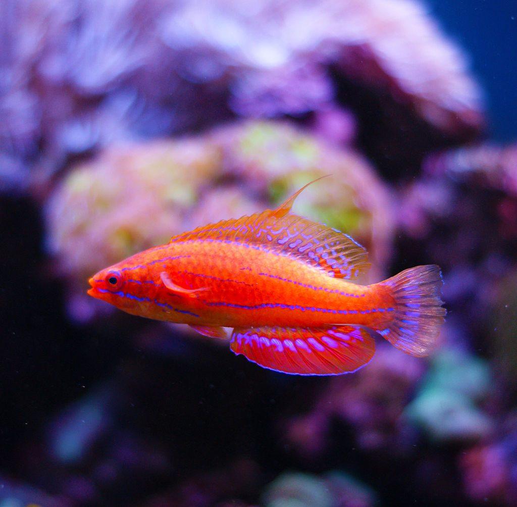 Paracheilinus_carpenteri - reefs
