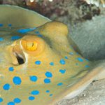 Meet the Blue Spotted Ray