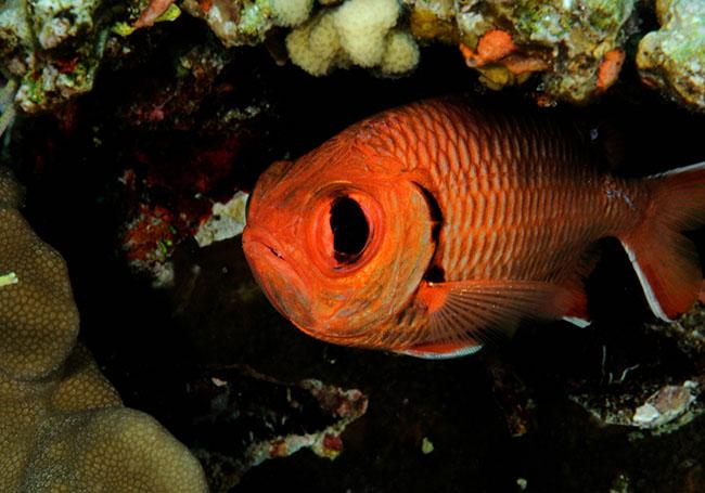 RCA_2080 blotcheye soldierfish