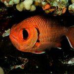 Meet the Blotcheye Soldierfish