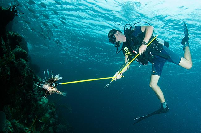 The standard lionfish killing method