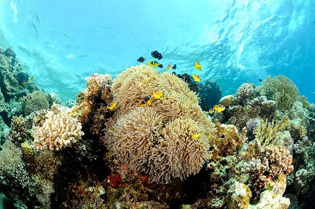 RCA_2313 anemone