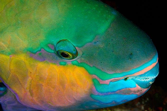 RCA_2585 parrotfish