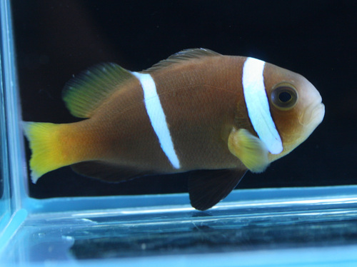 This unusual specimen appears to be the true Amphiprion chagosensis and was most likely a waif collected in the Maldives for the aquarium trade. Credit: Blue Harbor