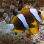Is there an Undescribed Clownfish in the Great Barrier Reef?