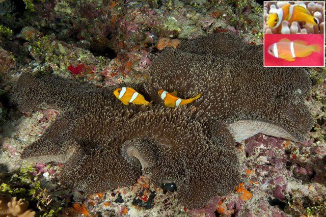 Amphiprion cf clarki in Stichodactyla mertensii. Juvenile cf clarki (top inset) vs juvenile A. chagosensis (bottom inset). Credit: