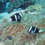 The Ogasawara Black Clownfish Amphiprion snyderi