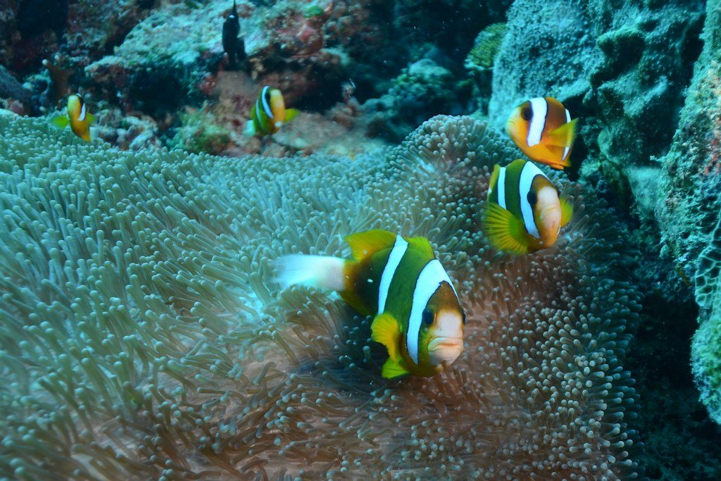 A happy family of the Australian Clarki Clownfish, from Townsville, Australia. Credit: Queensland Tourism