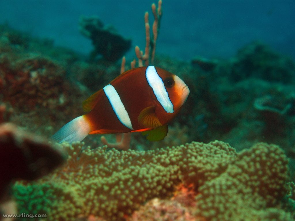 This unusual specimen from Yankee Reef (located in the middle of the Great Barrier Reef) is intermediate in appearance, with relatively broad stripes but a dull brown color. Might this be a hybrid? Credit: Richard Ling